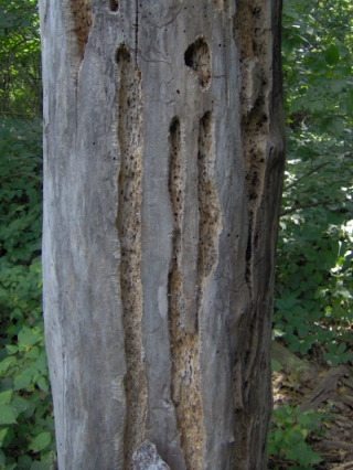 termite-eaten cottonwood