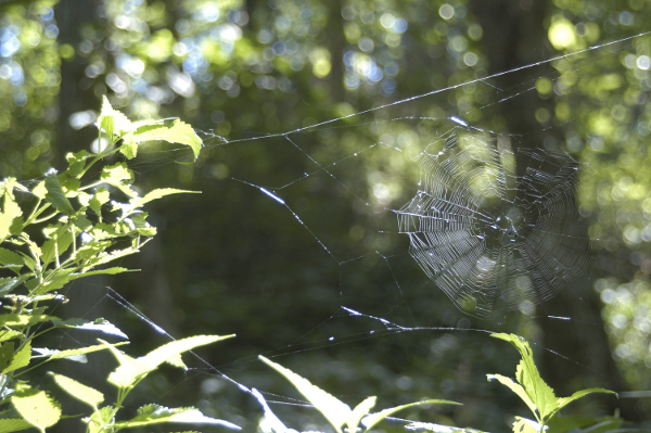 spider web in woods