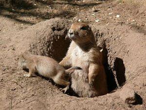 Prairie dogs, via Wikimedia Commons