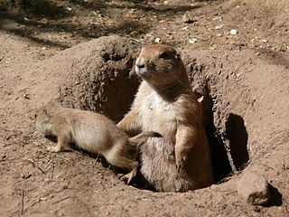 Prairie dogs, via Wikimedia Commons