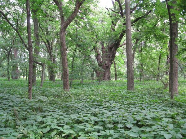 Bur oak in Wilderness Park, Lincoln, Nebraska