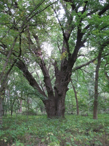 Bur oak, Wilderness Park, Lincoln, Nebraska