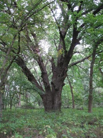 Bur oak, Wilderness Park, Lincoln, Nebraska