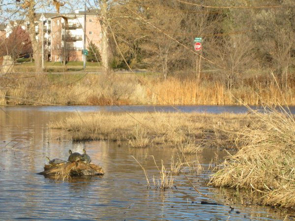 Three turtles at Holmes Lake, Lincoln, Nebraska, November 16, 2013.