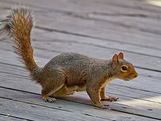Eastern gray squirrel. Wikimedia Commons