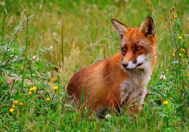 Red fox. Wikimedia Commons