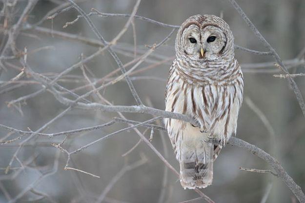 Barred owl. Wikimedia Commons