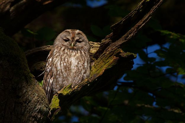 Tawny owl. Andreas Trepte, www.photo-natur.de, via Wikipedia