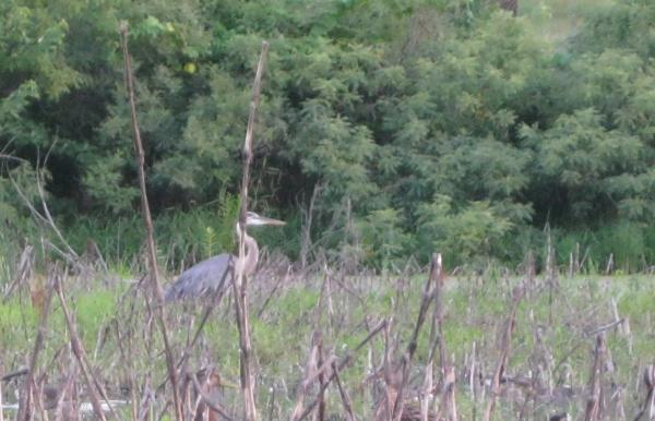 Great Blue Heron, Holmes Lake, Lincoln, Nebraska.