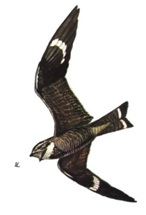Nighthawk. Wikimedia Commons