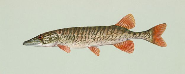 Redfin pickerel. Wikimedia Commons